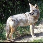 Coyote program planned