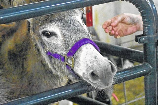 Don Tudor | Galion Inquirer A young donkey prepares to be petted at the Wynford FFA&#8217;s baby animals display at the Crawford County Fair on Saturday. The 160th edition of the fair is over. It wrapped up Saturday. See more photos from the fair in our online galleries at <a href=&quot;http://galioninquirer.aimmedianetwork.com&quot; target=&quot;_blank&quot;>galioninquirer.com</a>.